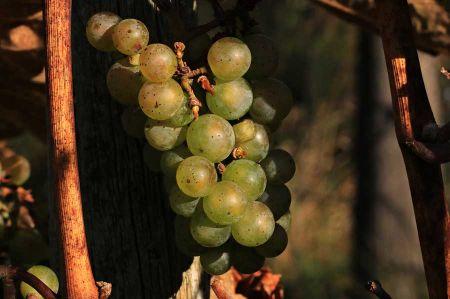 b_450_450_16777215_00_images_griechenland_wein-grapes-1.jpg