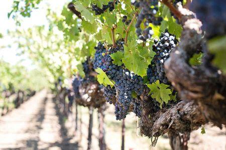 b_450_450_16777215_00_images_griechenland_wein-grapes-2.jpg