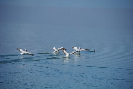 Pelikane am Kerkini See in der Region Serres