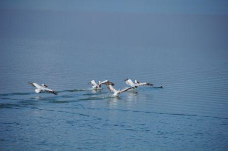 Pelicans at the Lake Kerkini in the Serres region