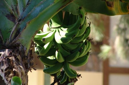 Bananenanbau an der türkischen Riviera