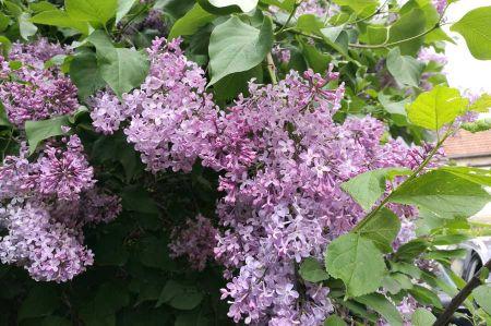 b_450_450_16777215_00_images_leben_flora_flieder-1.jpg