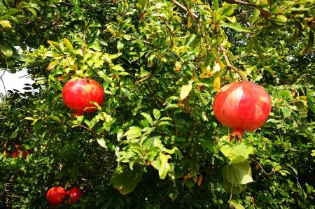 Not just beautiful to look at - pomegranates in the garden