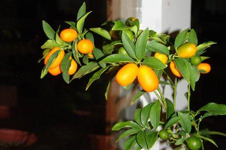 Cumquat - small orange - big taste