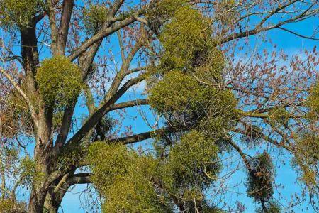 Mistletoe - Sandalwood plants and their mythological background