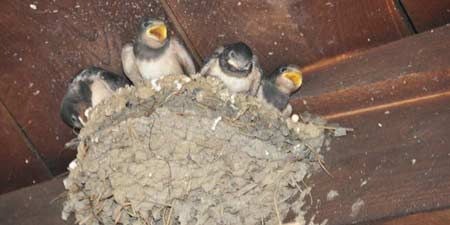 Young swallows in the nest - shouting we're hungry!