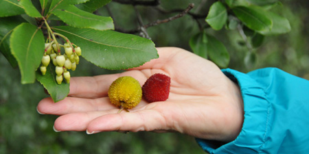 Strawberry tree - flower and fruit at the same time
