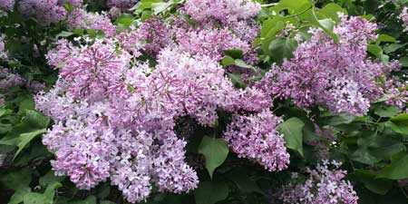 Lilac - not just gorgeous flowers and scents?