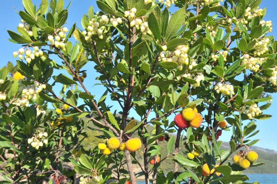 strawberry tree  flower and fruit at the same time, Beautiful flower
