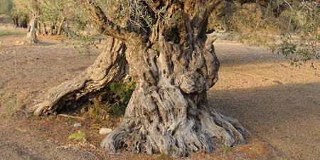 Hike to the historic olive grove of Kalkanli