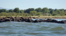 Buffalos at Lake Kerkini - try the yoghurt of the buffalos