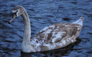 Swans in the dusk of the Abtsküche Pond