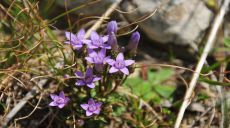Noch gibt es prächtige Blüten auf den Almen am Ohrid See