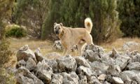 Kangal – mächtiger anatolischer Hirtenhund!