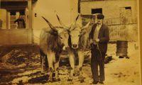 Puzta Rinder und der Naturpark Zasavica