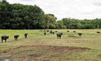 Büffel und Graurinder am ungarischen Balaton