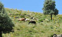 Wildpferde auf dem Karadag in der Provinz Karaman