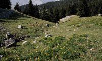 Kyllenisches Adonisröschen nach 150 Jahren neu entdeckt