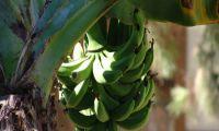 Die Türkische Banane an der Riviera - die Zwergbanane