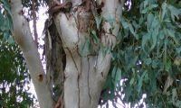 Der Eukalyptusbaum breitet sich im Mittelmeergebiet aus