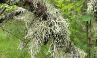 Oak moss and moose weed - strange plants of Jablanica