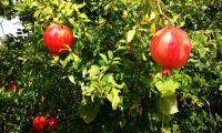 Nicht nur schön anzusehen - Granatäpfel im Garten