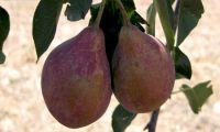 Türkiye'nin Tarihi Meyve Mirası
