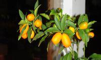 Kumkuat - küçük portakal - harika tat
