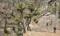 Traditional and bizarre - the Lebanon Cedar
