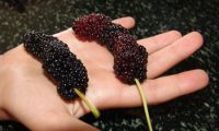 Tasty Mulberries or Karadut from Alanya