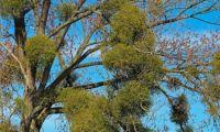 Misteln – Sandelholzgewächse & mythologischer Hintergrund