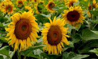 Sunflowers - raw material for many different foods