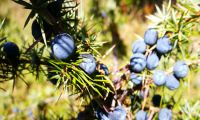 Juniper - bushes and fruits along the way