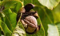Die Echte Walnuss – imposante Baumriesen in Eigeltingen