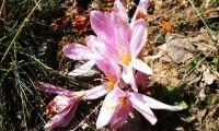 Saffron - precious flower and spice of love