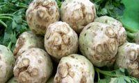 Sellerie – eine Heilpflanze zum täglichen Verzehr geeignet