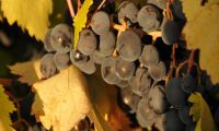 Turkish Wines Net Working -  Bogazkere and Öküzgözü