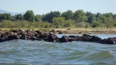 Buffalos at Lake Kerkini - try the yoghurt of the buffalos