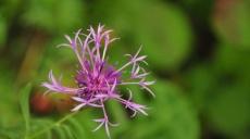 Flora am Wegrand zur Burgruine Kunitzburg