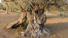 Olive oil from 1,800 years old tree in Teos