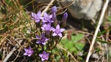 Noch gibt es prächtige Blüten auf den Hochalmen am Ohrid See