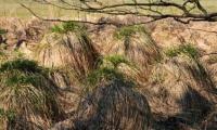 Rigid sedge - this swamp plant contributes to silting up