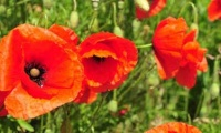 Poppy - almost extinguished and yet back on the field edges!