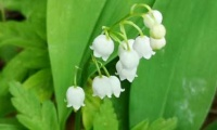 Lily of the valley - can something so beautiful be poisonous?