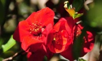 The red flowering of the quince - springtime appearing!