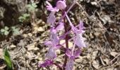 Maraş Orkidesi Efsanesi
